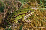 Grenouille comestible, Grenouille verte (Rana esculenta)